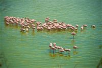 Flamingo's in Alkeline lakes