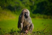 A Baboon is puzzled