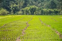 Ricefileds on Flores