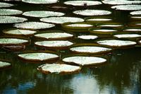 pond with King Lotus flowers